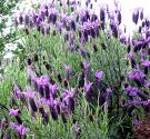 Lavender will cause gynecomastia and will contribute to Restless Leg Syndrome.